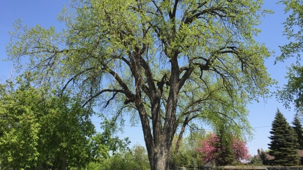 The city believes this cottonwood in Point Douglas is the oldest tree in Winnipeg.