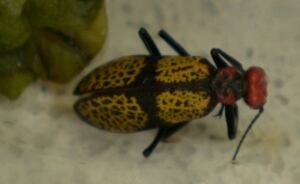 Iron Cross Blister beetle