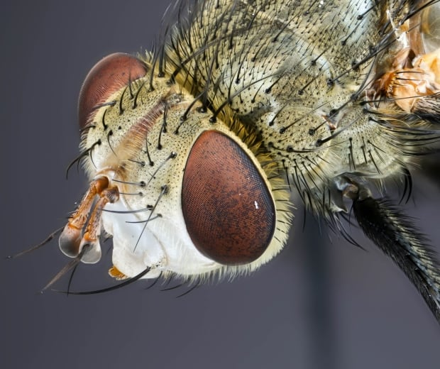 tachinid fly - UofM bugs
