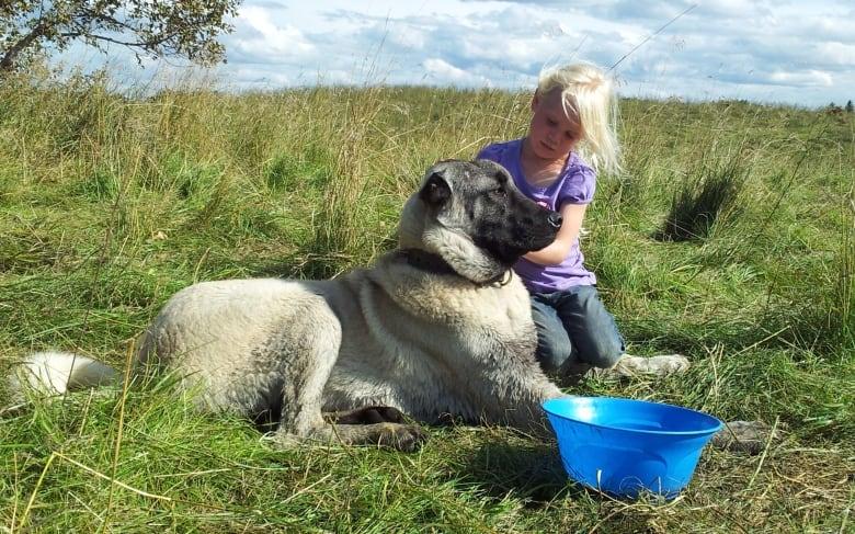 Saskatchewan ranchers using livestock guardian dogs to protect