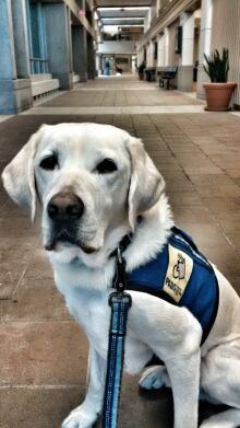 Caber K9 trauma dog