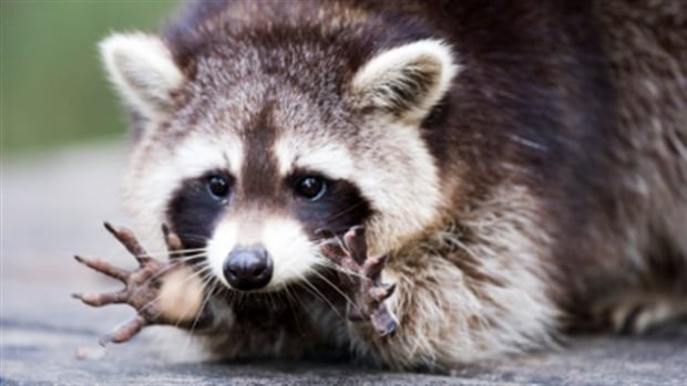 Province Dropping More Vaccines After 5th Raccoon Rabies
