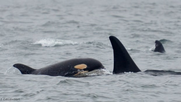 Babysitting services might be in high demand amongst B.C.'s southern resident killer whale population. J-Pod gave birth to eight calves this year, a high not seen since the 1970s.