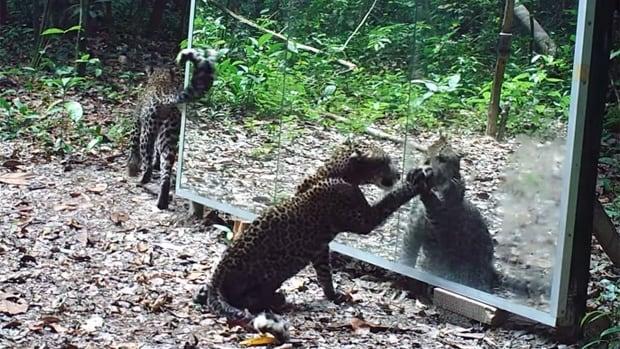 Leopard in a mirror