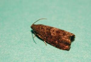 Adult oriental fruit moth