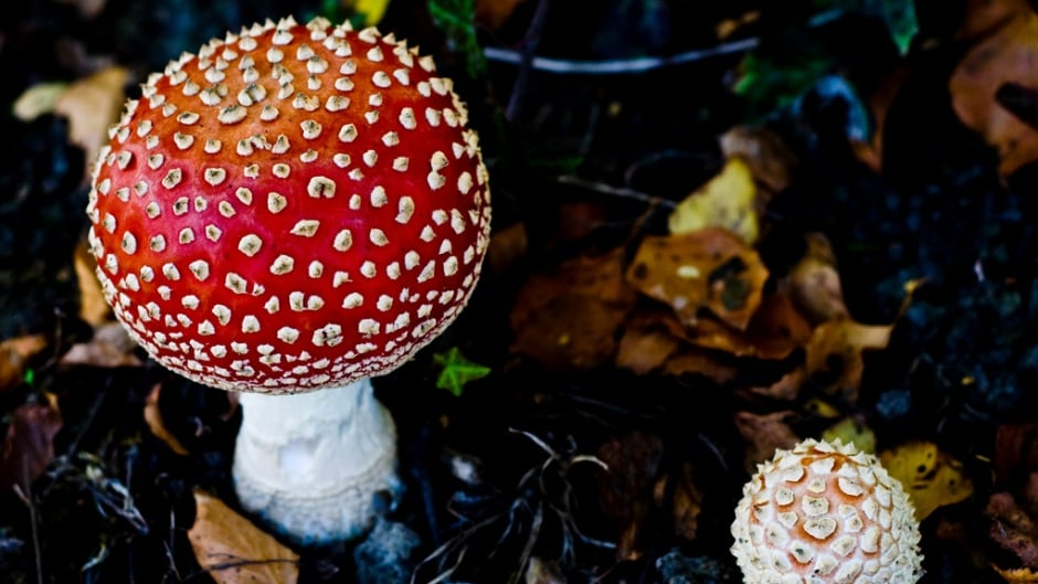 Commonly known as Fly Agaric, the poisonous mushroom has been noted for its hallucinogenic properties. There's a renewed push for psychedelics in psychiatry, many scientists feel these drugs have enormous potential and research should be facilitated, not hindered.