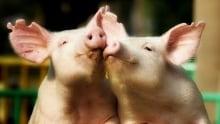 Lesser Beasts Humble Pig Mark Essig