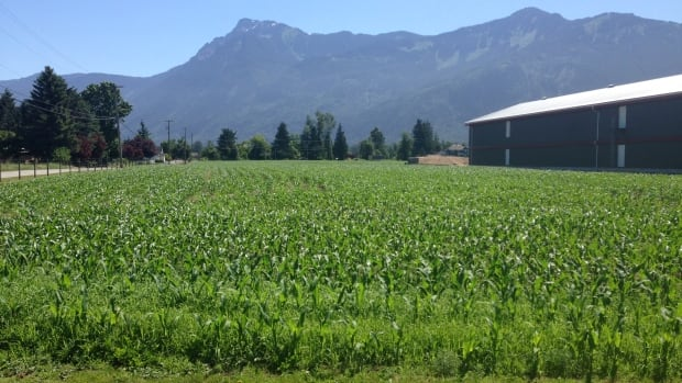 Lower Mainland farms, like this one in Chilliwack, are very productive, an academic says, but high real estate prices have made them attractive for speculation and the construction of large homes.