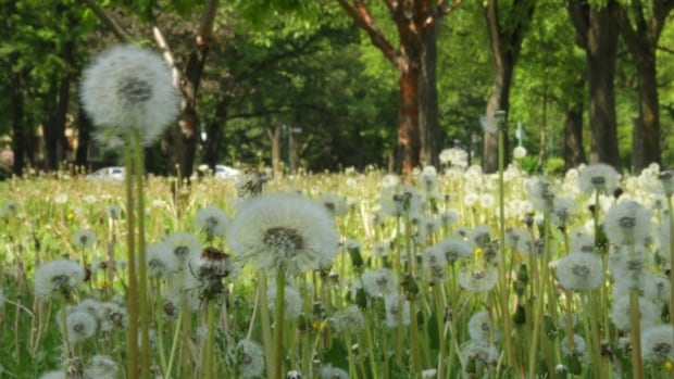 Dandelions have overrun parts of Wellington Crescent, and according to the city's manager of open spaces, a provincial pesticide ban is to blame.