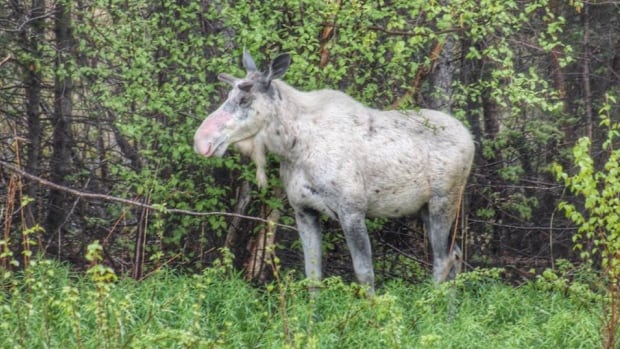 Wildlife officials say this moose, seen mainly in the Stephenville and Port au Port area, is a piebald moose and is not albino.