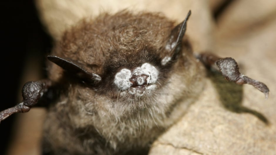 Scientists have reported the mysterious deaths of millions of bats in the United States and Canada over the past several years were caused by a fungus that hitchhiked from Europe.