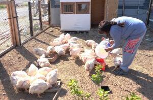 gameti chickens