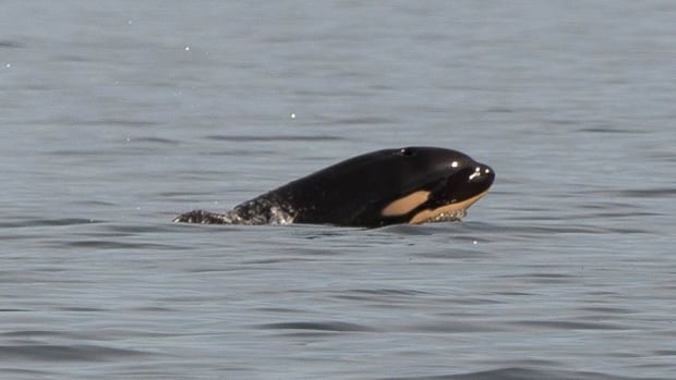 This transient calf appears to have been born this week inside Clayoquot Sound.