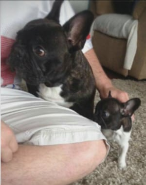 French bulldog found vancouver