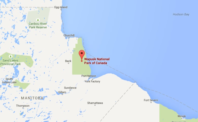 Grizzly bears wander into Manitoba polar bear territory, new