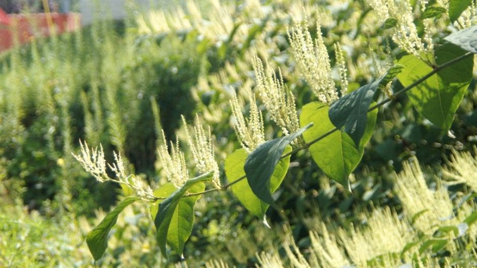 The Japanese Knotweed plant can expand to acre-wide that re-grow from the roots each year. This photo shows knotweed in bloom.