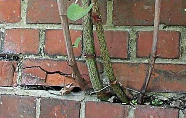Japanese Knotweed through brick