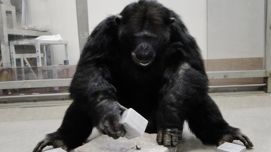 A chimpanzee uses tools to crack nuts