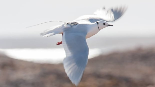 Ross's gull with tracking device