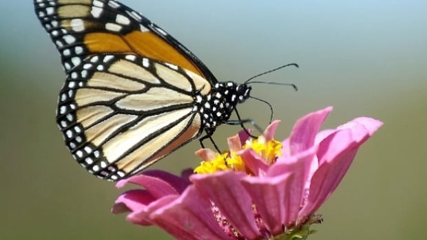Nature Saskatchewan is asking people to help the Monarch butterfly by reporting sighting and planting Milkweed.