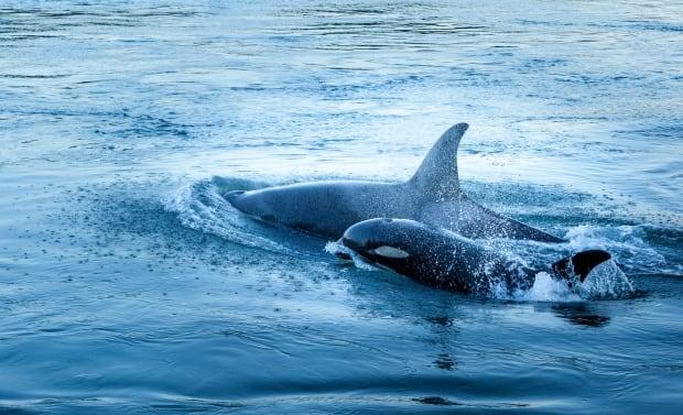 Orca baby boom