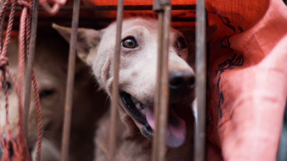 Thousands of dogs eaten at festival in China amid international outcry