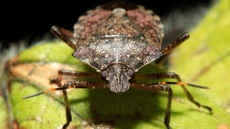 Researchers hope tiny 'samurai wasp' may stop invasive stink bugs eating through the Okanagan