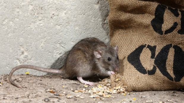 An SFU biology professor is working on a better method for trapping rats.