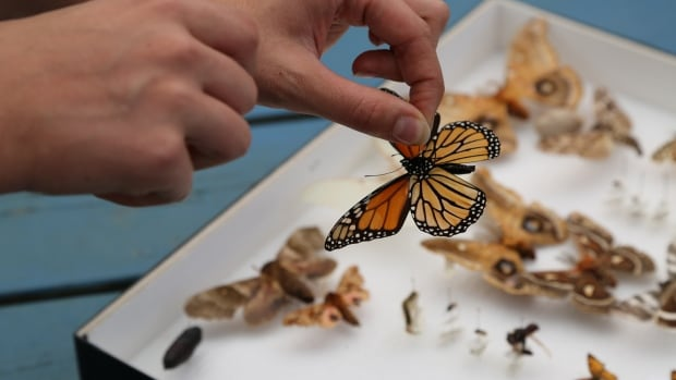 The Monarch butterfly is a near threatened species and Greener Village in Fredericton is trying to help conserve them by setting up a Monarch Waystation.