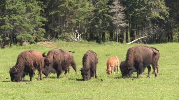 Two bison are dead after being infected with anthrax.