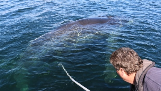 Paul Cottrell, Marine Mammals Coordinator for Fisheries and Oceans Canada, rescues an entangled humpback whale in the Powell River area.  He says four whales have been found entangled in the last week and a half.