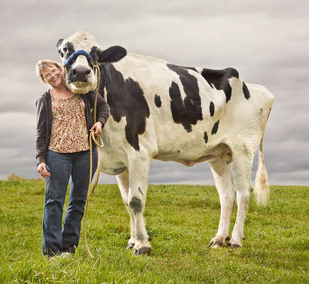 Blosom Cow 2