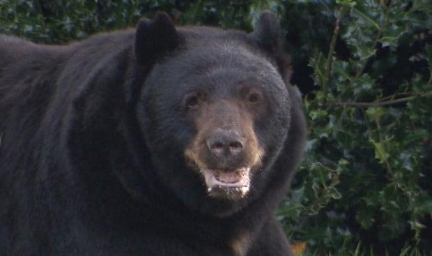 Port Coquitlam Prairie Avenue black bear