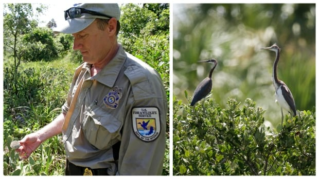 Larry Woodward, of the U.S. Fish and Wildlife Service looks over a broken egg shell at Seahorse Key /  Tricolored herons perch in tree branches on Snake Key, Fla. just a short distance from Seahorse Key off Florida's Gulf Coast.