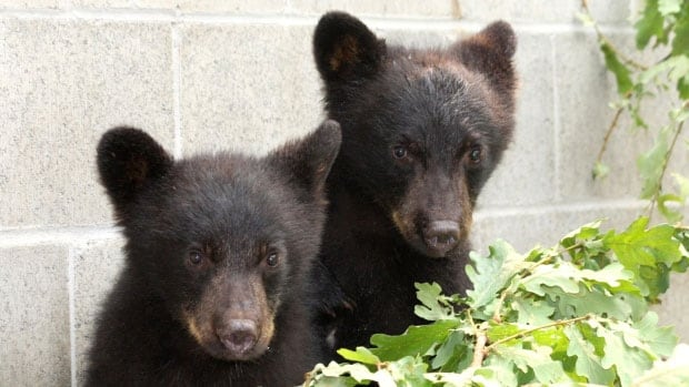 The two bears cubs —  a brother and sister — were tranquillized and taken to the North Island Wildlife Recovery Centre after their mother was killed for repeatedly breaking into a freezer full of meat and salmon.