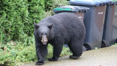 Black Bear in Port Moody