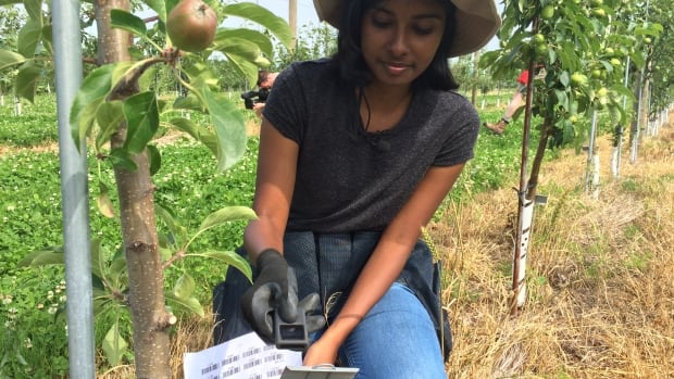 Computer science student Vinetha Jagadeesan scans a bar code of one of the 2,400 trees in the Apple Biodiversity Collection. The bar codes help scientists keep track and better organize the data they collect on the apples.