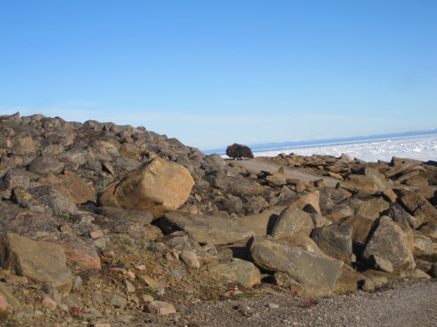 Muskox near Grise Fiord