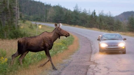 How to avoid hitting wildlife in New Brunswick, and what to do if it happens