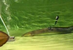 Eel tracking