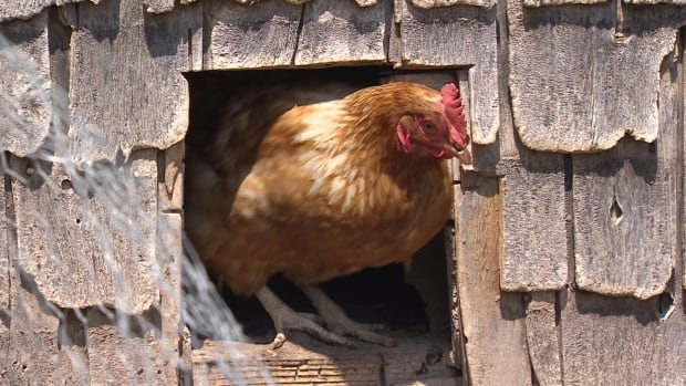 The City of Kitchener is looking into reviewing its ban on urban fowl.