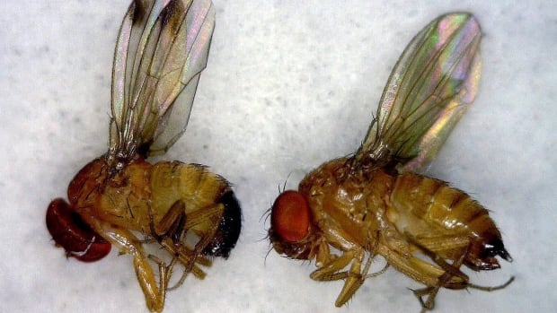 The spotted wing drosophila is invasive to B.C. and has been causing severe problems to cherry and berry farmers. Their population has been on the rise drastically this year due to the warmer weather.