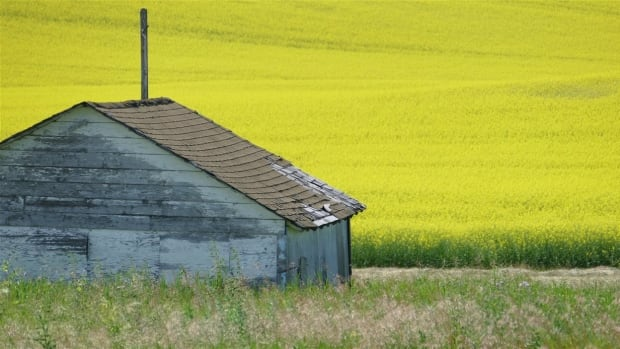 "Canola in southern Manitoba. According to the Canola Council of Canada, about 80 per cent of the canola grown in Canada has been modified using biotechnology ""to make it tolerant to some herbicides."""