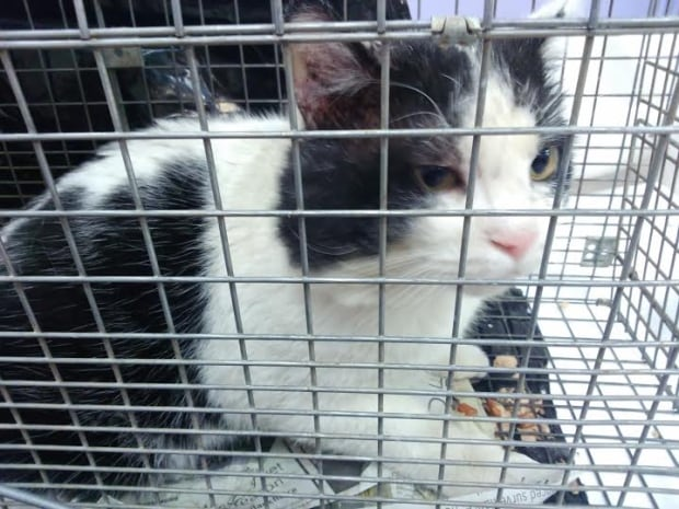 Feral cat trapped for VOKRA program