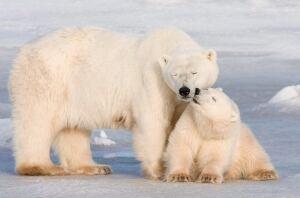 Hudson Bay polar bears