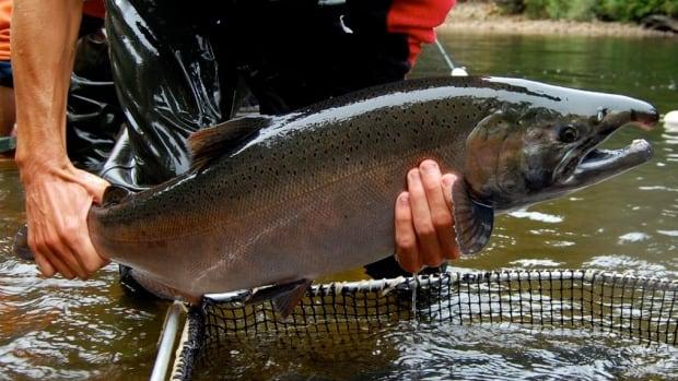 A Seymour Hatchery volunteer holds a coho salmon.