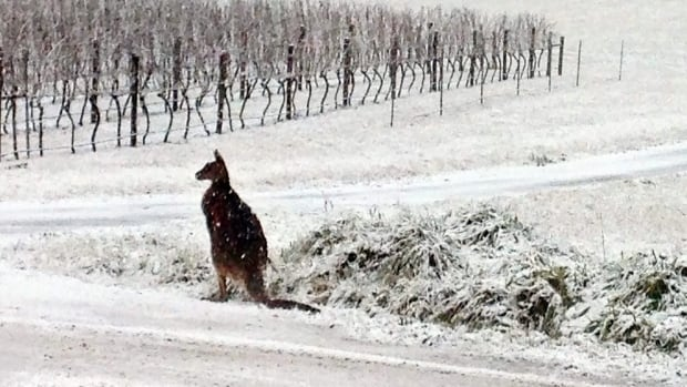 A kangaroo pauses in the snow on the Colmar Estate vineyard in Orange, New South Wales, Australia. The storm caused traffic accidents, school closures and power outages along Australia's southeastern coast.