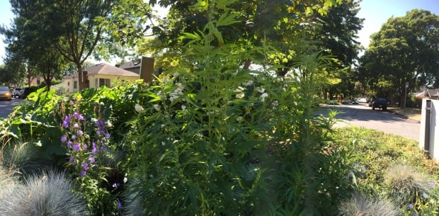 Tall marijuana plant in Vancouver Traffic circle