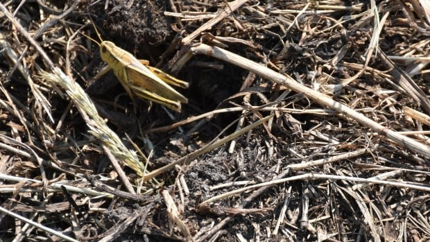 An infestation of grasshoppers has added to the woes of Alberta farmers who are already dealing with drought.