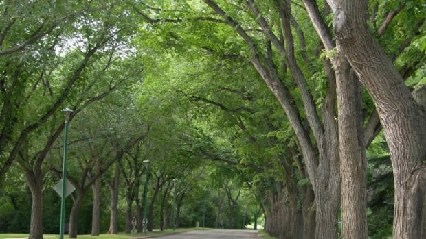 American elm trees are one of the most common trees found along Saskatoon streets, such as this canopy of trees along Spadina Crescent. One tree in the Queen Elizabeth neighbourhood is the first confirmed case of Dutch elm disease in the city.